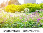 beautiful spider flowers with... | Shutterstock . vector #1060982948