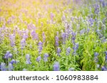 beautiful purple lavender with... | Shutterstock . vector #1060983884