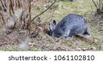 a gray rabbit digs a hole in... | Shutterstock . vector #1061102810