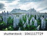 Small photo of Beautiful view of perfect lupine flowers on sunny day. Location Stokksnes cape, Vestrahorn (Batman Mount), Iceland, Europe. Wonderful image of summer nature landscape. Discover the beauty of earth.