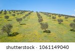 the olive grove in istria | Shutterstock . vector #1061149040