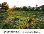 cassava plantation rural scene...   Shutterstock . vector #1061201618