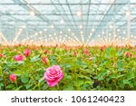 Industrial Growth Of Pink Roses ...