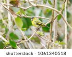 the eurasian siskin is a small... | Shutterstock . vector #1061340518