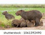 capybara  hydrochaeris...   Shutterstock . vector #1061392490