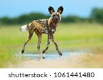 african wild dog  lycaon pictus ... | Shutterstock . vector #1061441480