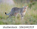 african wildcat  felis lybica ... | Shutterstock . vector #1061441519