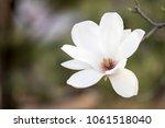 Magnolia White Blossom Tree...