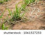 seedlings of sugarcane growing...   Shutterstock . vector #1061527253