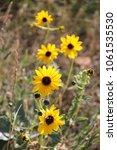 sunny colorado wildflowers | Shutterstock . vector #1061535530
