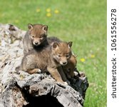 Small photo of Playful coyote pups in springtime