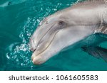 the yong bottlenose dolphin is... | Shutterstock . vector #1061605583
