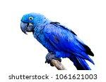 blue and yellow  endangered...   Shutterstock . vector #1061621003