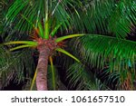 coconut palm crown is... | Shutterstock . vector #1061657510