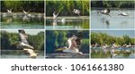 group of pelicans taking flight.... | Shutterstock . vector #1061661380