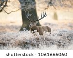 Red Deer Stag Standing In Fern...