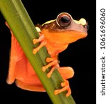 treefrog with vibrant red color ...   Shutterstock . vector #1061696060