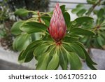 the king protea is in bud.... | Shutterstock . vector #1061705210