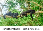 view on young monkeys on a tree ... | Shutterstock . vector #1061707118
