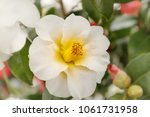 Camellia japonica triphosa...