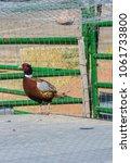 Small photo of Male Domestic Pheasant