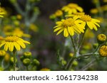 first spring flowers yellow in... | Shutterstock . vector #1061734238