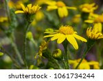 first spring flowers yellow in... | Shutterstock . vector #1061734244
