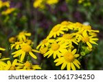 first spring flowers yellow in... | Shutterstock . vector #1061734250