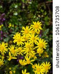 first spring flowers yellow in... | Shutterstock . vector #1061735708