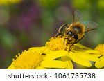 bee on yellow flower collecting ... | Shutterstock . vector #1061735738