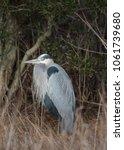 Great Blue Heron Crouching In...