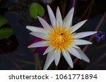 lotus flower is a flower that... | Shutterstock . vector #1061771894