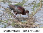 Photograph of a glossy ibis...