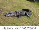 Alligator Sunbathing On Grass.