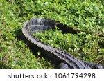 closeup of alligator tail on... | Shutterstock . vector #1061794298