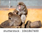 Japanese Macaque. The Japanese...