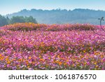 colorful cosmos flowers planted ...   Shutterstock . vector #1061876570