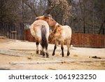 przewalski's horse  very... | Shutterstock . vector #1061923250