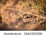 female large tailed nightjar... | Shutterstock . vector #1061932430