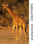 the south african giraffe ... | Shutterstock . vector #1061970890