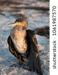 Small photo of Cormorant bird is basking in the sun on the sea beach. Sea bird or seafowl resting on the coast Conservation area of Ukraine, Europe. Saving the environment and wildlife. Ecotourism