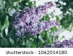 branch of lilac flowers with... | Shutterstock . vector #1062014180