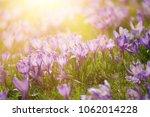 beautiful violet crocus flowers ... | Shutterstock . vector #1062014228