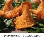 raw wild chanterelle mushrooms...   Shutterstock . vector #1062083390