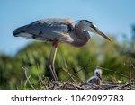 Great Blue Heron In Her Nest...