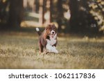 happy border collie running on... | Shutterstock . vector #1062117836