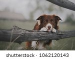 border collie put paws on... | Shutterstock . vector #1062120143