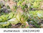 cabbage in the vegetable garden | Shutterstock . vector #1062144140