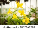 yellow dendrobium orchid. | Shutterstock . vector #1062169970
