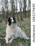 borzoi dog lying down outdoor. | Shutterstock . vector #1062174650